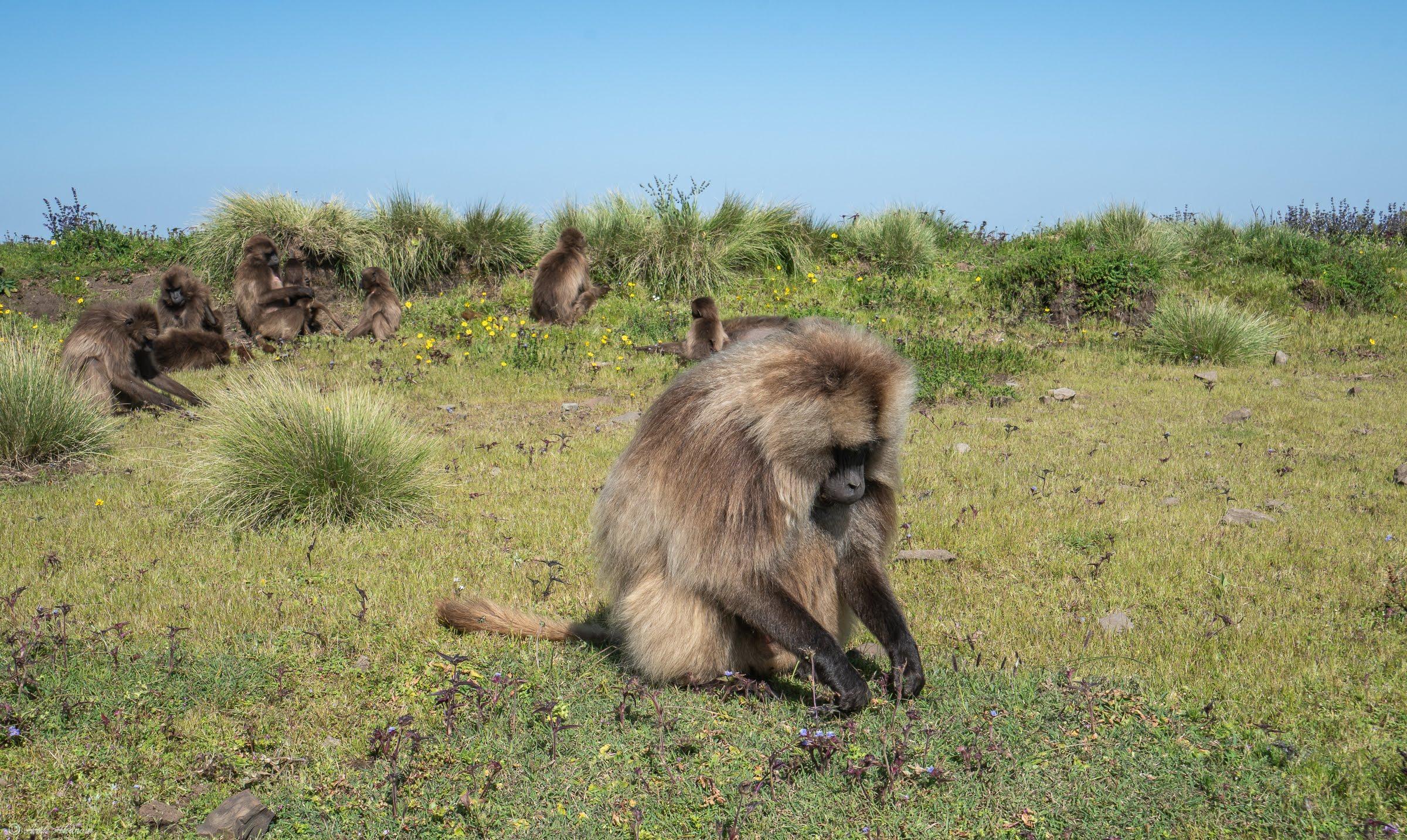 Geladas at Simien Mountains National Park