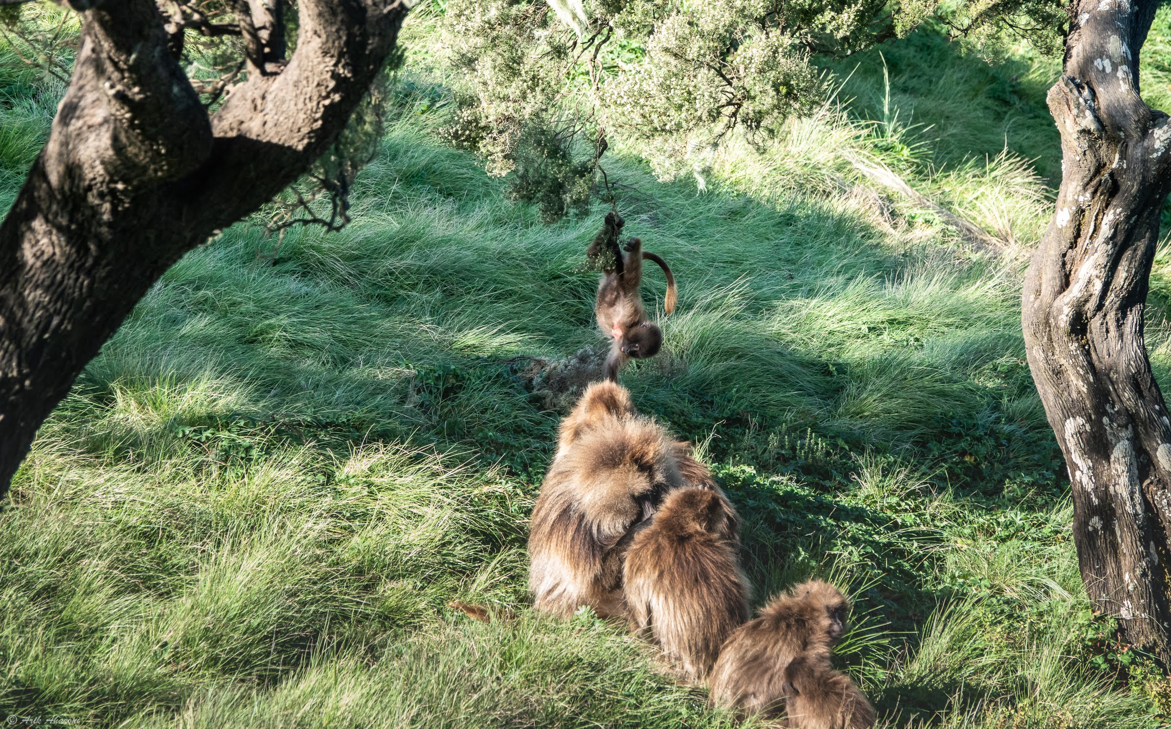 Baboons at Simien Mountains