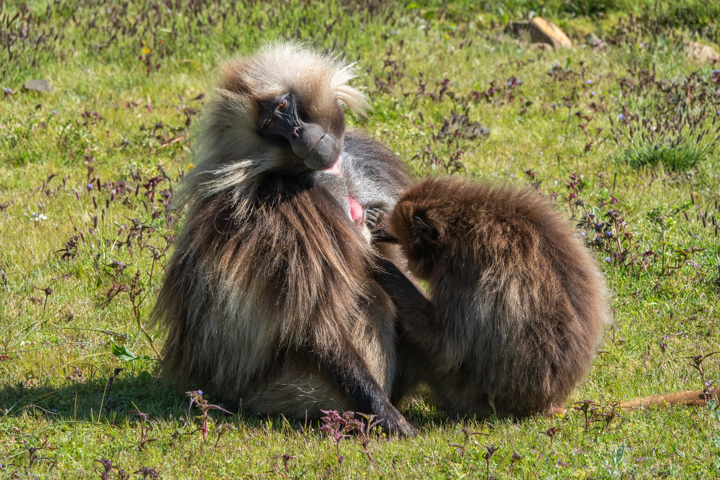 Gelada Baboon, Simien Mountains National Park
