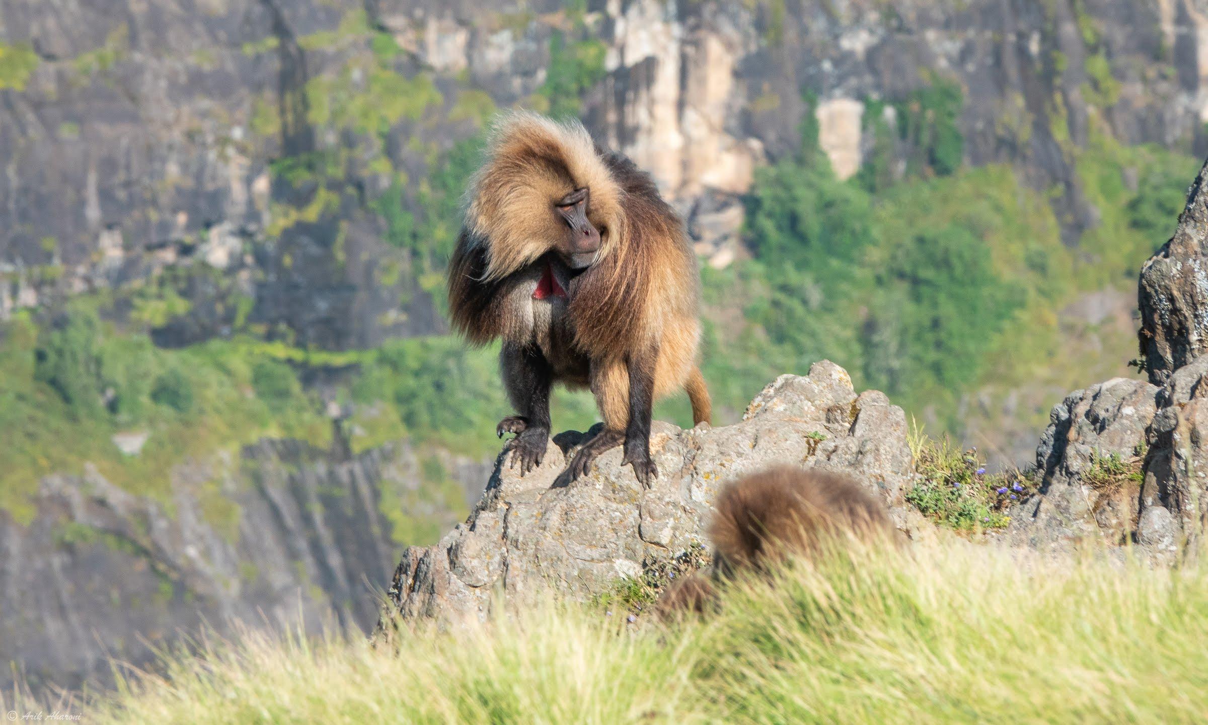 Gelada Baboon at Simien mountains